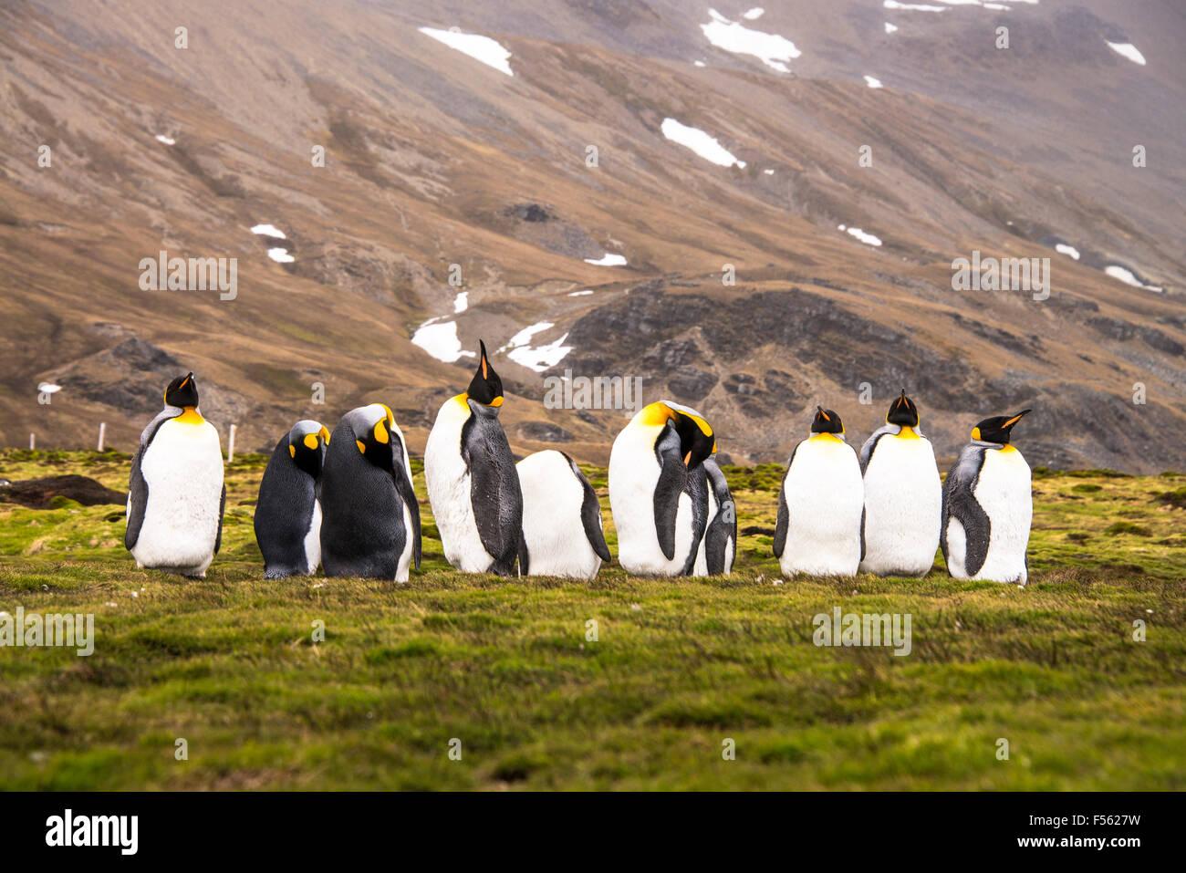Un gruppo di pinguini re! Immagini Stock