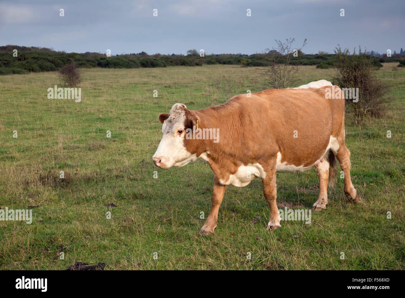 Vacca; Greenham Common; Berkshire, Regno Unito Immagini Stock
