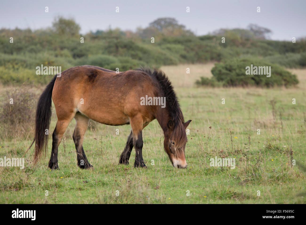 Exmoor Pony; singolo; pascolo Greenham Common; Berkshire, Regno Unito Immagini Stock