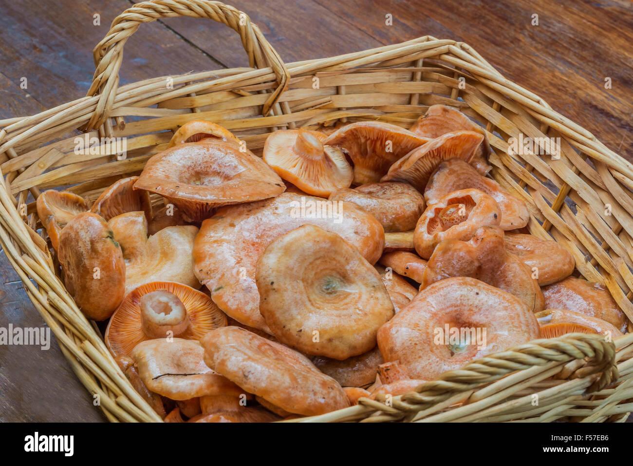Lactarius deliciosus Immagini Stock