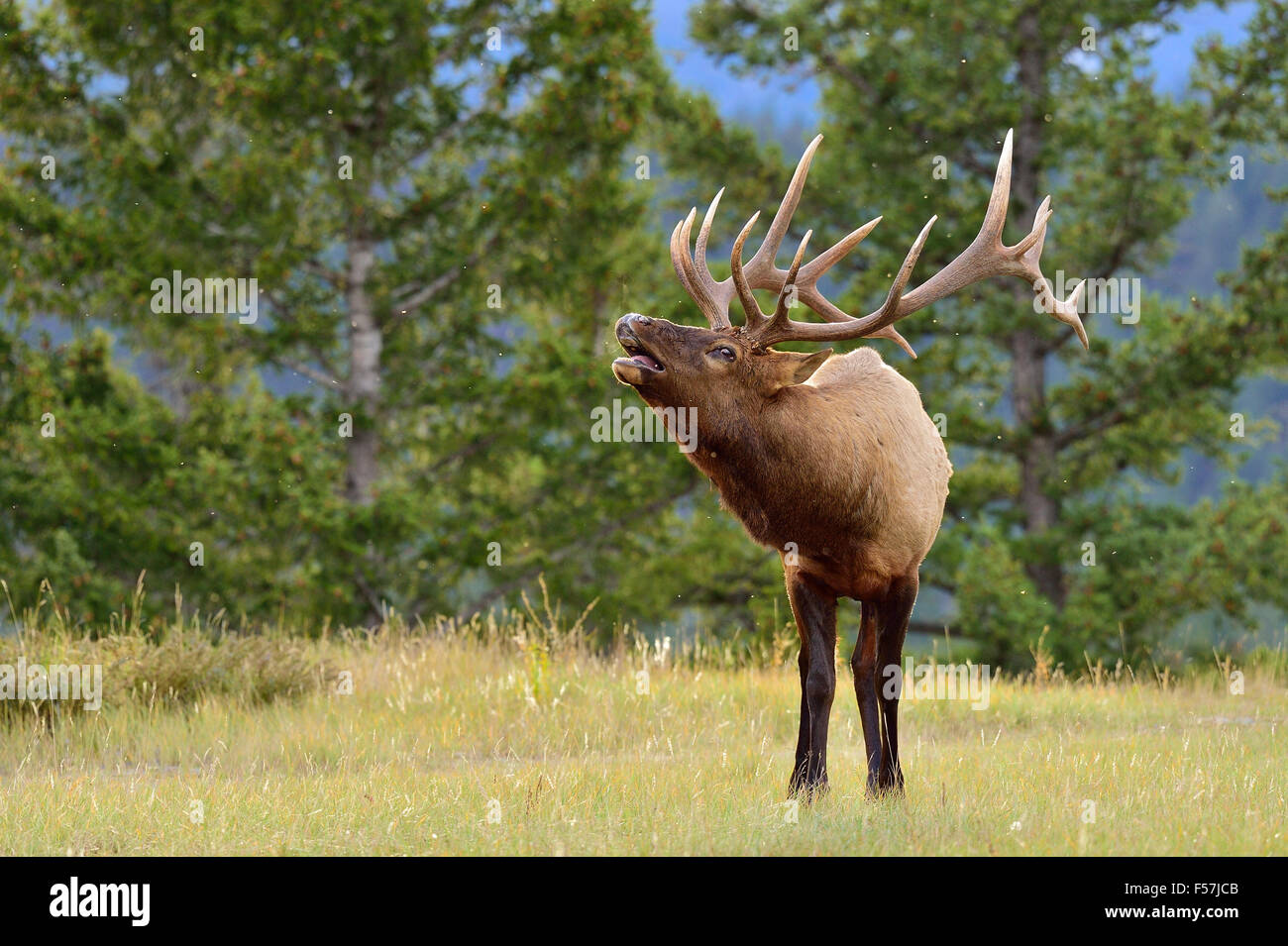 Un'immagine orizzontale di un grande bull elk Cervus elaphus; chiamando per attirare una femmina Immagini Stock