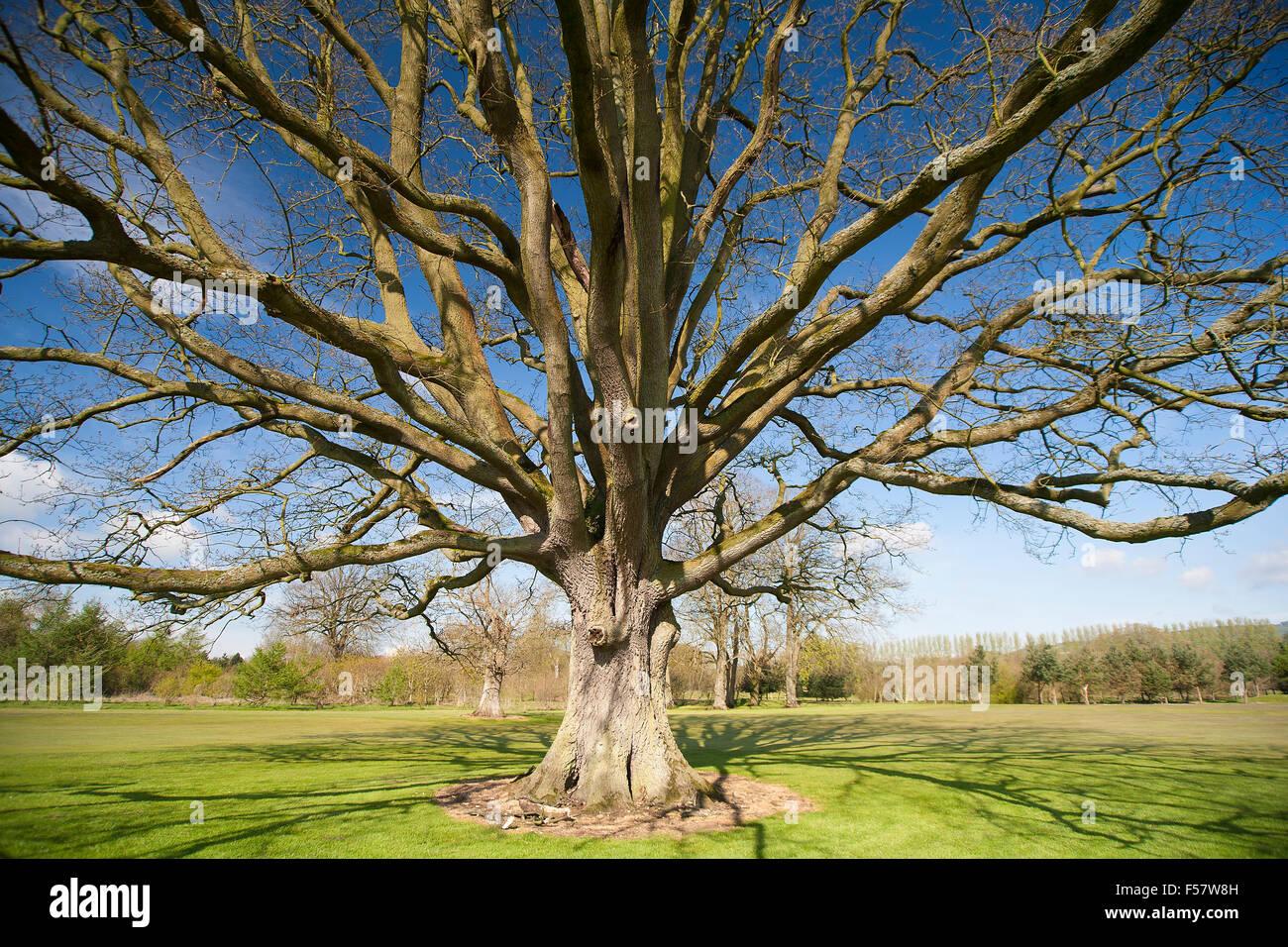 Diffusione di rami di albero senza foglie di autunno autunno inverno Immagini Stock