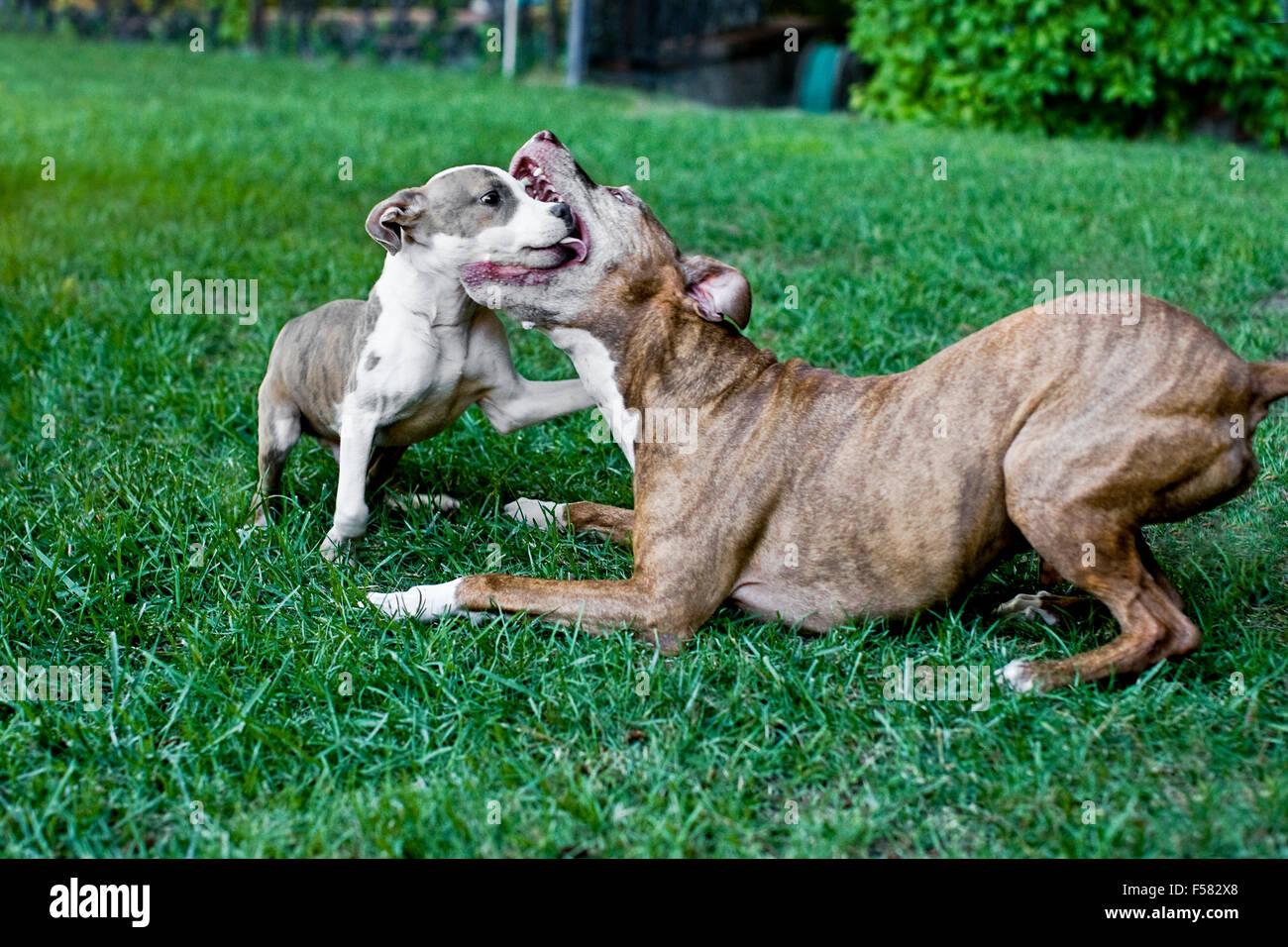 Senior insegna cane cucciolo di arte di ritenuta come essi giocare in modo aggressivo in erba del cortile la cattura Foto Stock