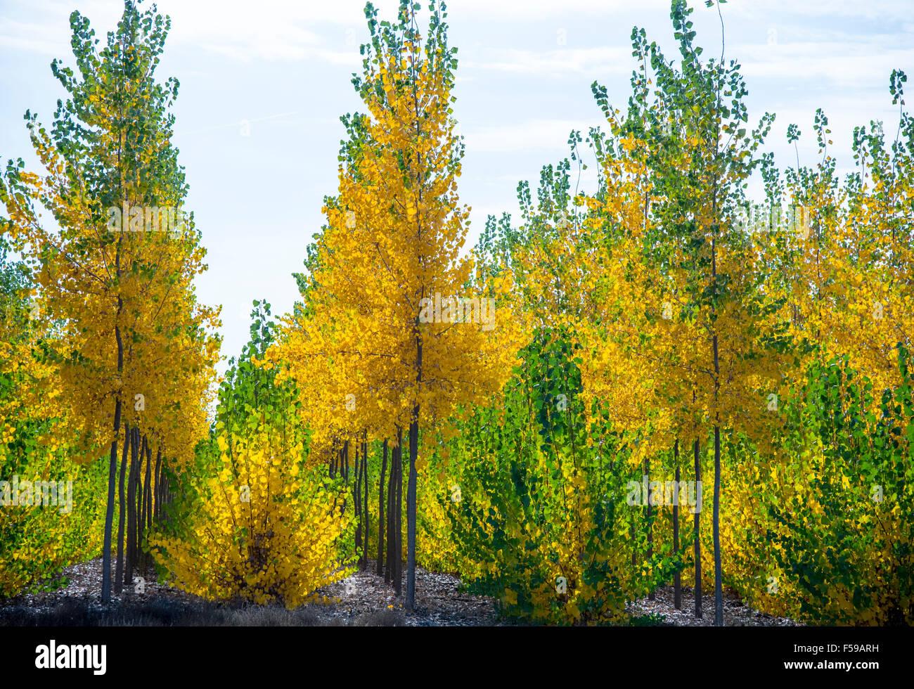 Boardman Tree Farm. Bellissimi colori autunnali splendenti attraverso un ibrido del pioppo in autunno. Oregon Foto Stock