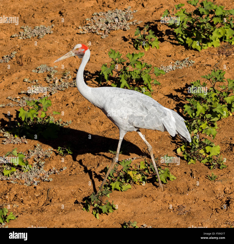 Brolga, australiano, gru Grus rubicunda, grande grigio elegante uccello a piedi asciutti sulla terra rossa del letto Immagini Stock