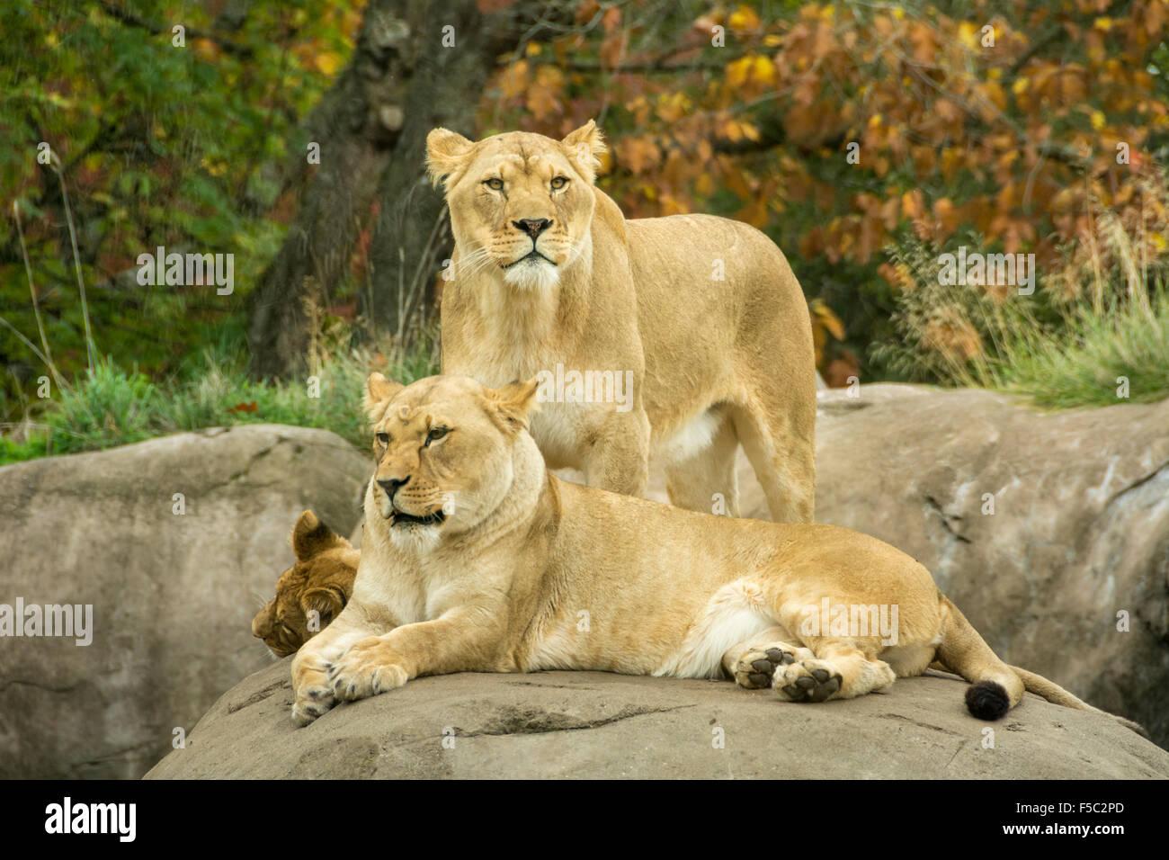Lion presentano presso la Oregon Zoo di Portland, Oregon. Immagini Stock