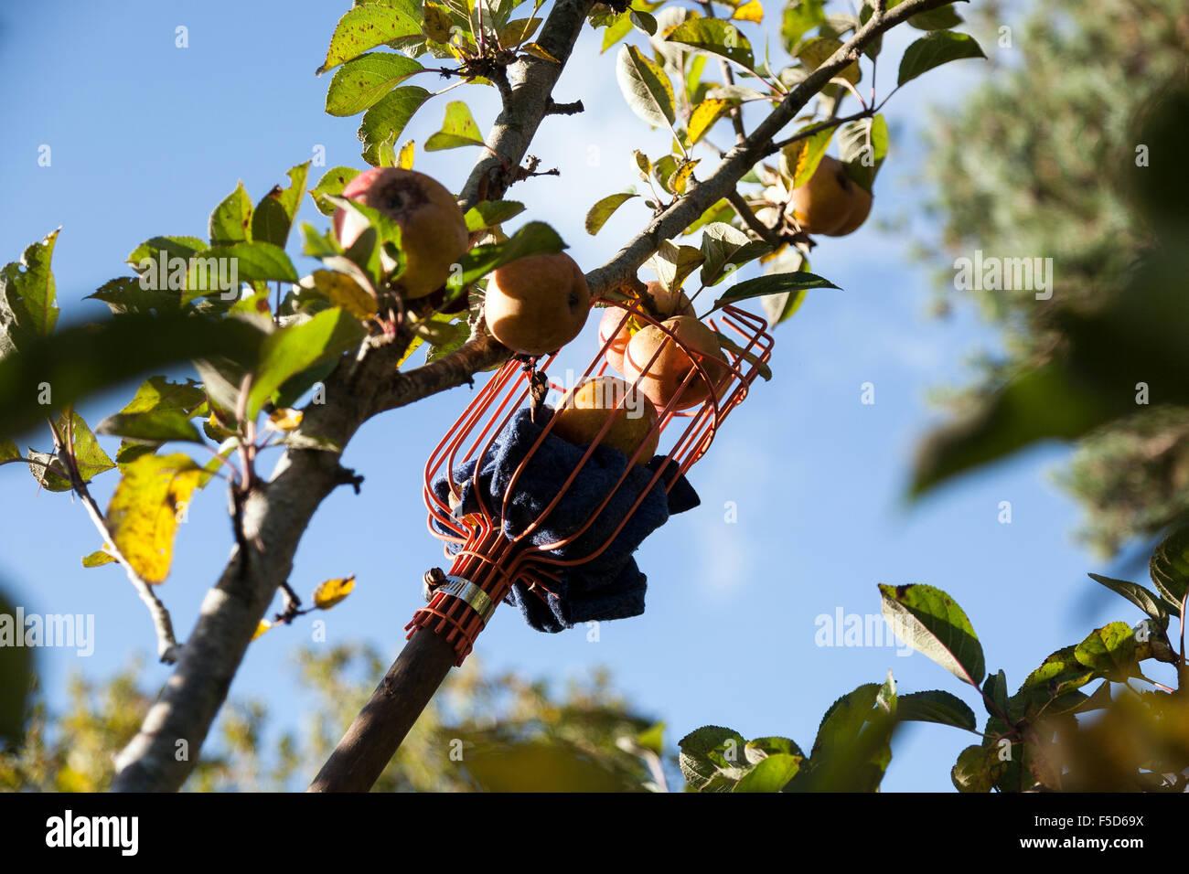 Apple picking in Devon orchard,tree, frutta, vettore, frutteto, raccolto, produrre, mature, melo, contorno, raccogliere, Immagini Stock