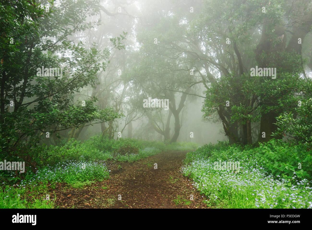 Foresta Laurel nella nebbia, El Hierro, Isole Canarie, Spagna, Europa Immagini Stock