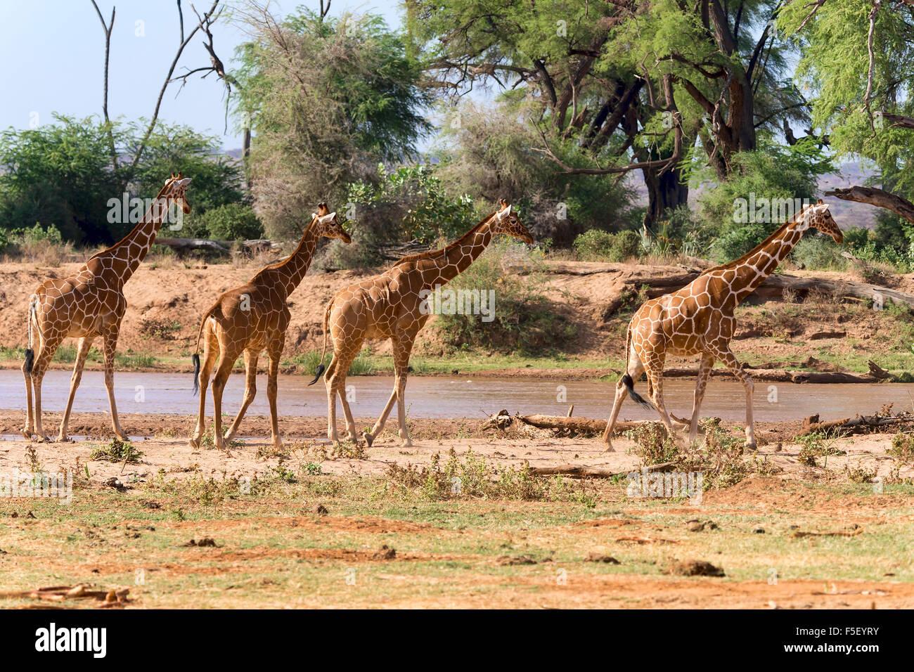 Giraffa reticolata o somala (giraffe Giraffa camelopardalis reticulata) che corre lungo il fiume, Samburu riserva nazionale, Kenya Foto Stock