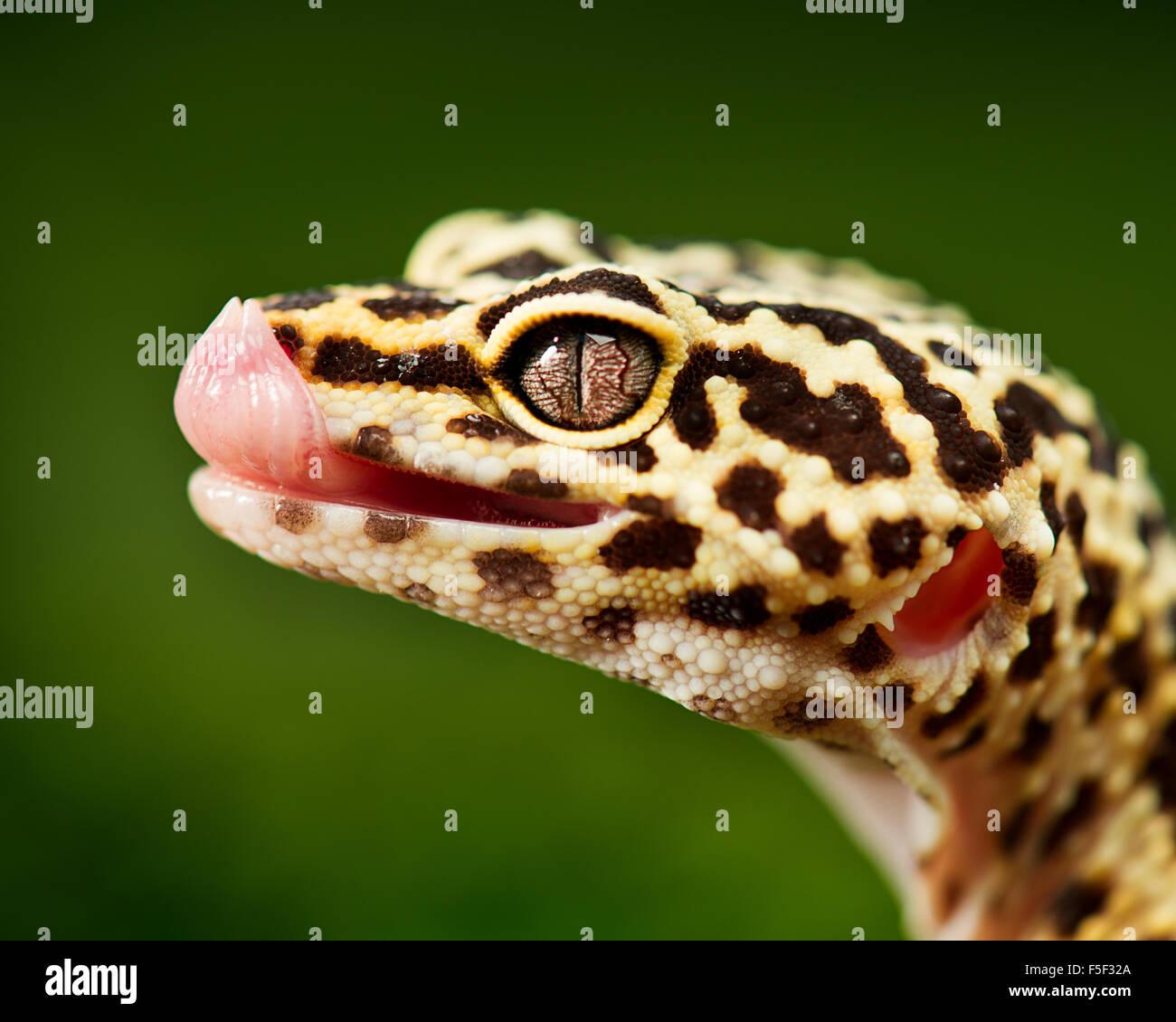 Un leopard gecko lambisce acqua da fuori del suo naso Immagini Stock