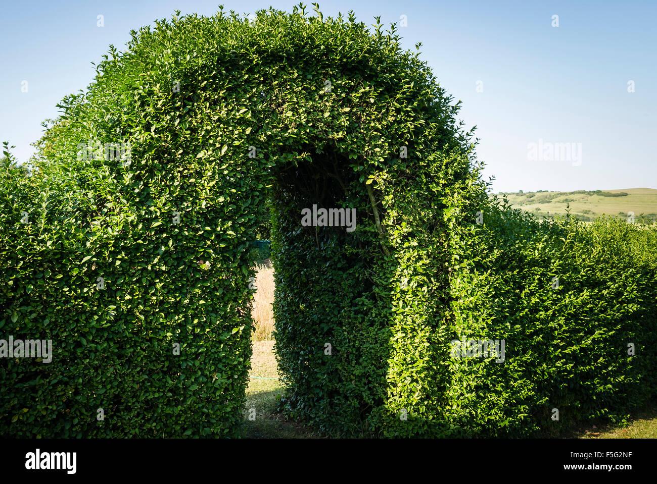Parzialmente refilata privet hedge arch in estate dando un originale se unkempt aspetto Immagini Stock