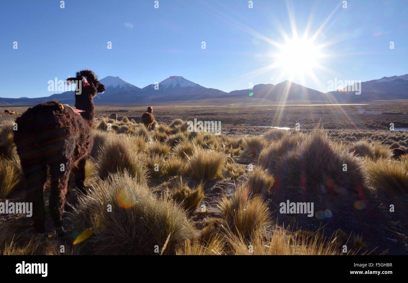 Llama (lama glama) su pascolo, retroilluminazione, altiplano, Sajama Parco Nazionale, Bolivia Immagini Stock