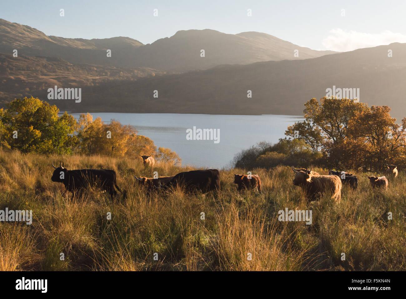 Allevamento di bovini highland sopra Loch Katrine in autunno al tramonto, Scotland, Regno Unito Immagini Stock