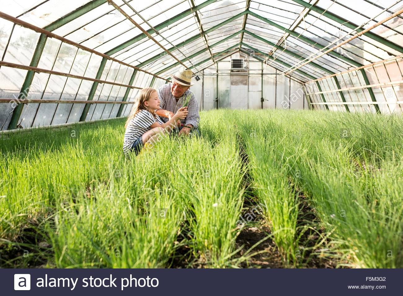 Nonno e nipote in serre riscaldate di controllo della qualità delle piante di erba cipollina Immagini Stock