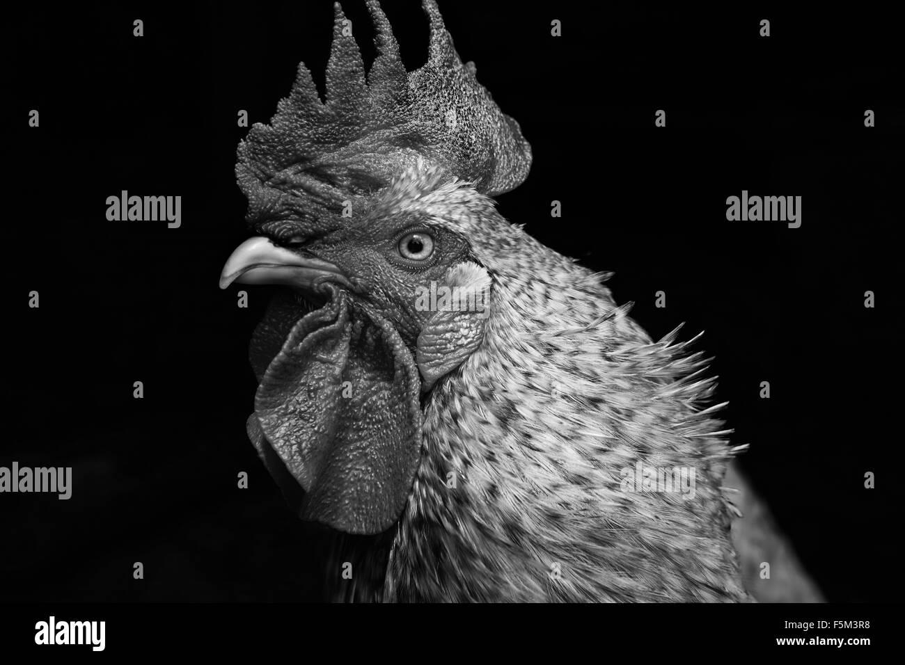 Ritratto in bianco e nero di gallo cercando lateralmente Immagini Stock