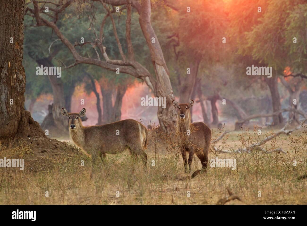 Due femmina waterbucks (Kobus ellipsiprymnus), il Parco Nazionale di Mana Pools, Zimbabwe Immagini Stock