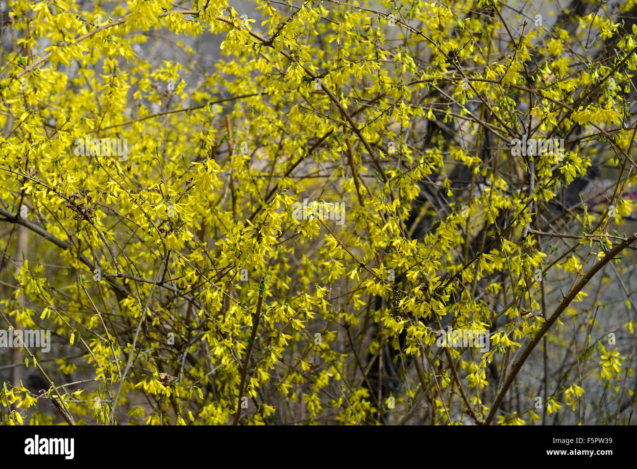 Coltivazione suspensa vahl pianto di forsitia golden-bell di giallo fiore fiori fioritura albero arbusto floreale Immagini Stock