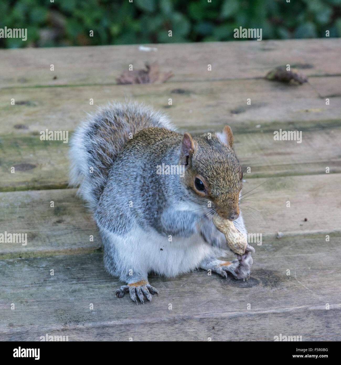 Scoiattolo grigio di mangiare un dado su una tabella del parco Immagini Stock