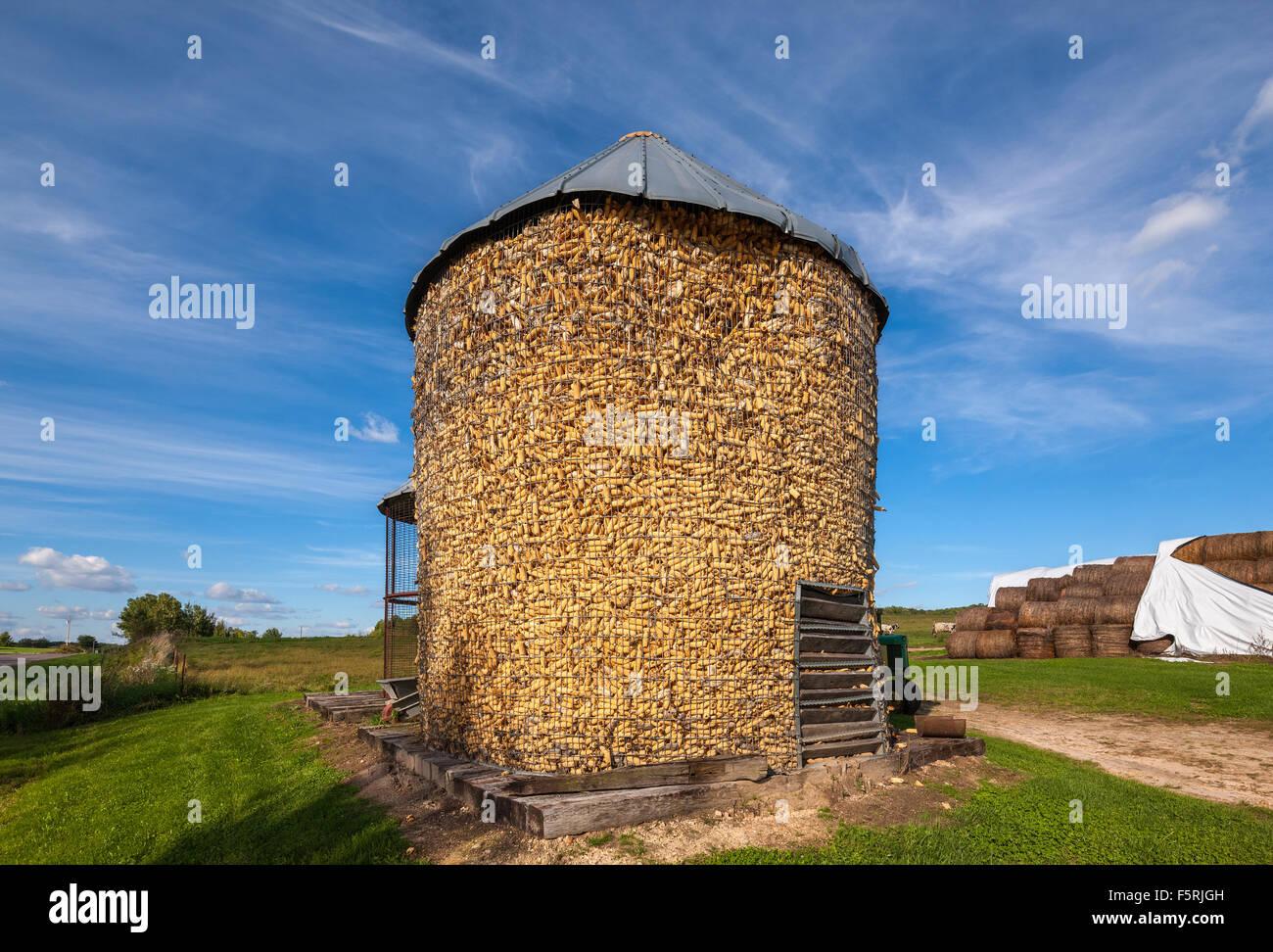 Tradizionale Behlen aperto maglia di filo metallico il mais presepi ad inizio autunno in una fattoria vicino a Augusta Immagini Stock