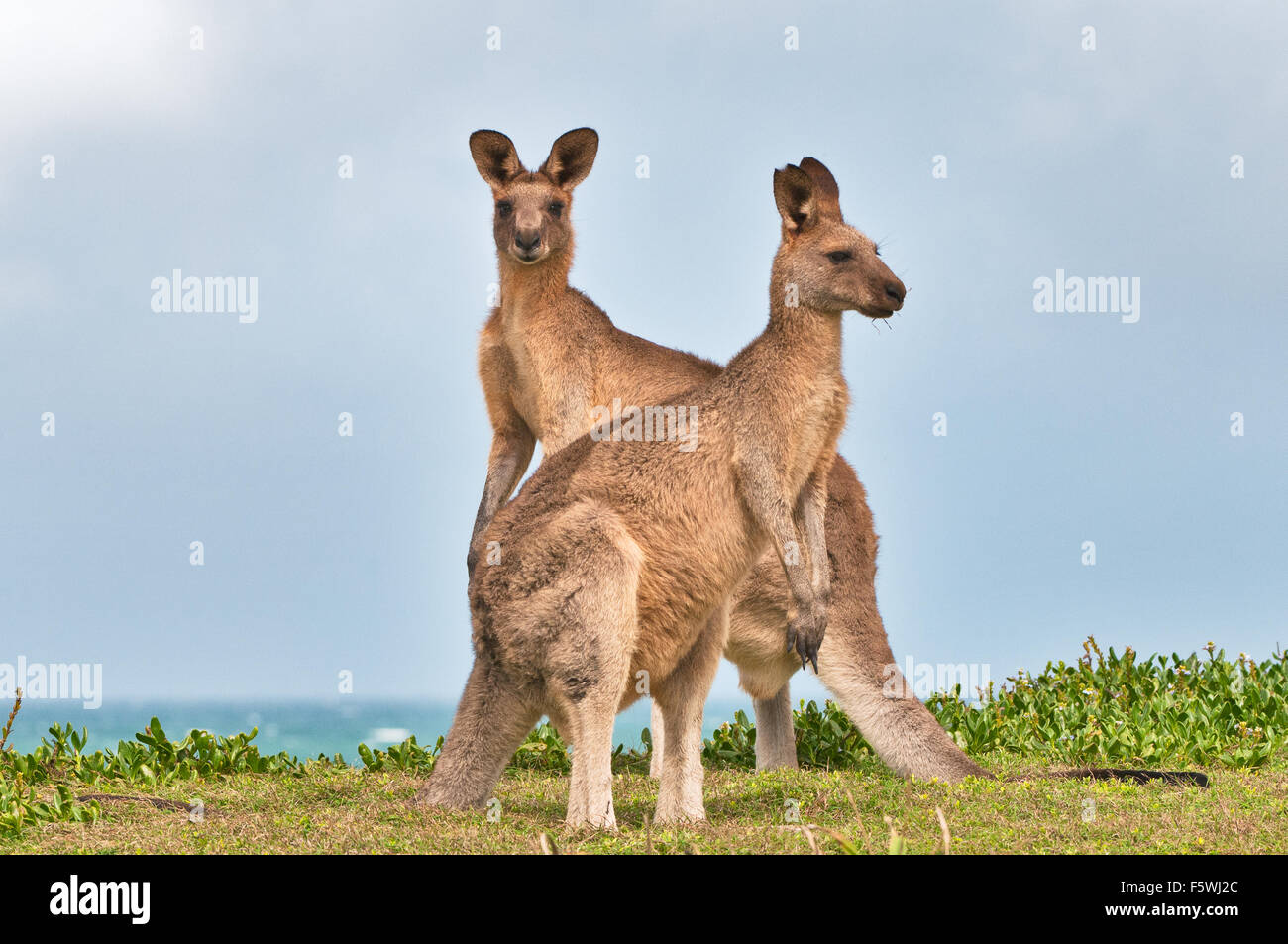 Grigio orientale canguri nelle zone costiere Heath. Immagini Stock