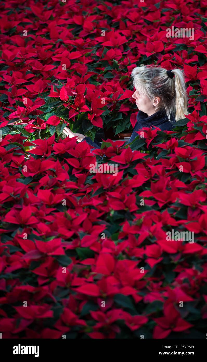 Manschnow, Germania. Decimo Nov, 2015. Giardiniere Jeannette Rohde della Fontana orticoltura GmbH lavora in una Immagini Stock