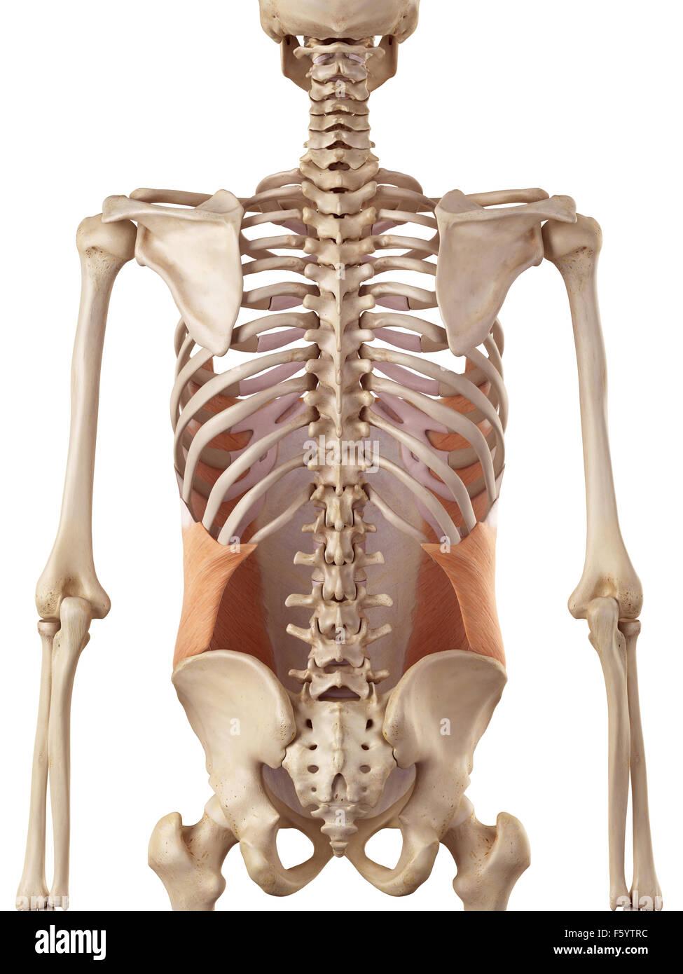 Medical accurata illustrazione del obliquo esterno Immagini Stock