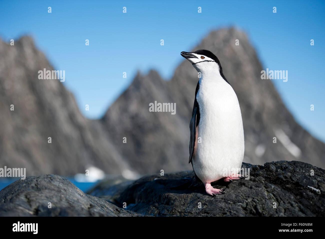 Pinguini Chinstrap Immagini Stock