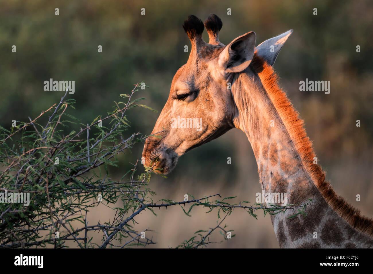 Giraffa d'alimentazione Immagini Stock