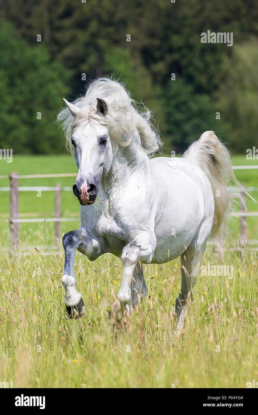 Puro Cavallo Spagnolo andaluso. Stallone grigio al galoppo su un pascolo. Germania Immagini Stock