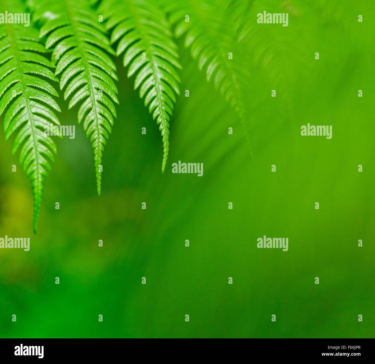 Fresco verde Nuova Zelanda fern sfondi Immagini Stock