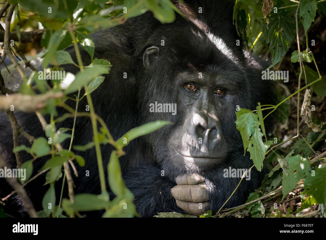 Sivlerback gorilla è rilassante nella bussola della giungla nella foresta pluviale della montagna in Uganda Immagini Stock
