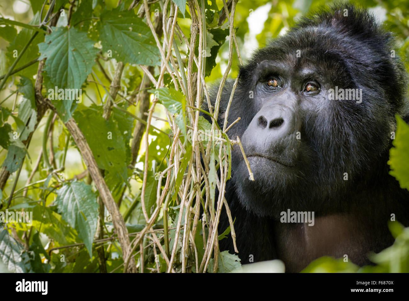 Un gorilla di montagna si nasconde dietro nella giungla in Uganda Africa. Immagini Stock