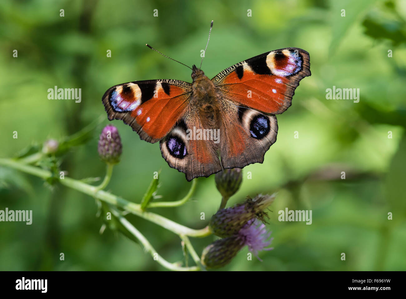 Tagpfauenauge, Aglais io, Europeo farfalla pavone Foto Stock