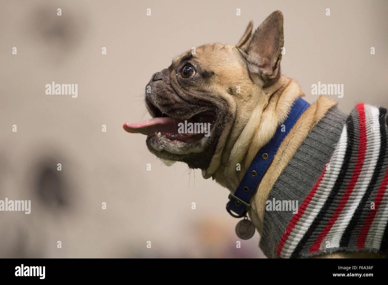 Pug cani a 'pugfest' evento in azione Petz a Cardiff, nel Galles del Sud. Immagini Stock