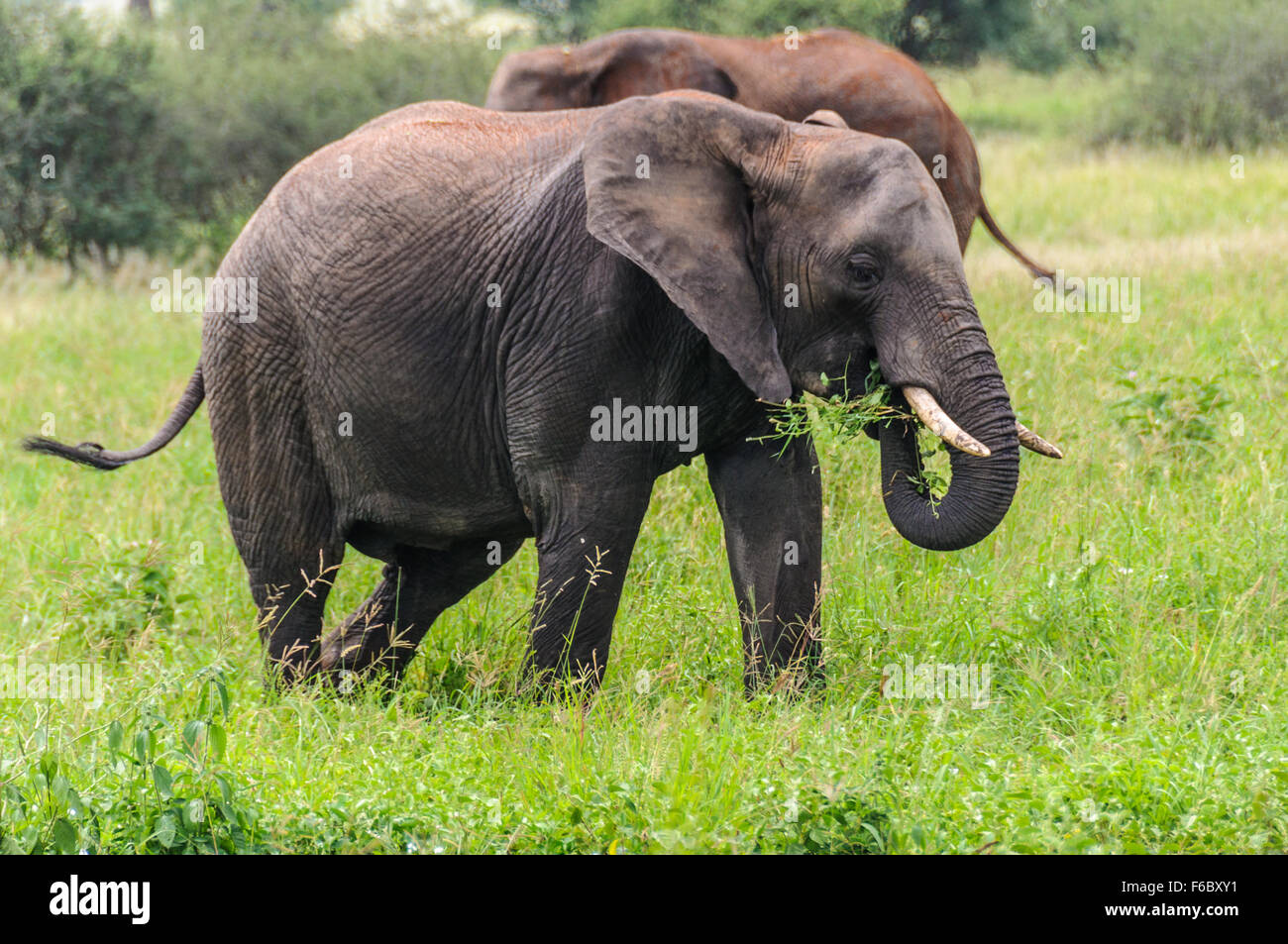 Mangiare elefante nel Parco Nazionale di Tarangire e, Tanzania Immagini Stock