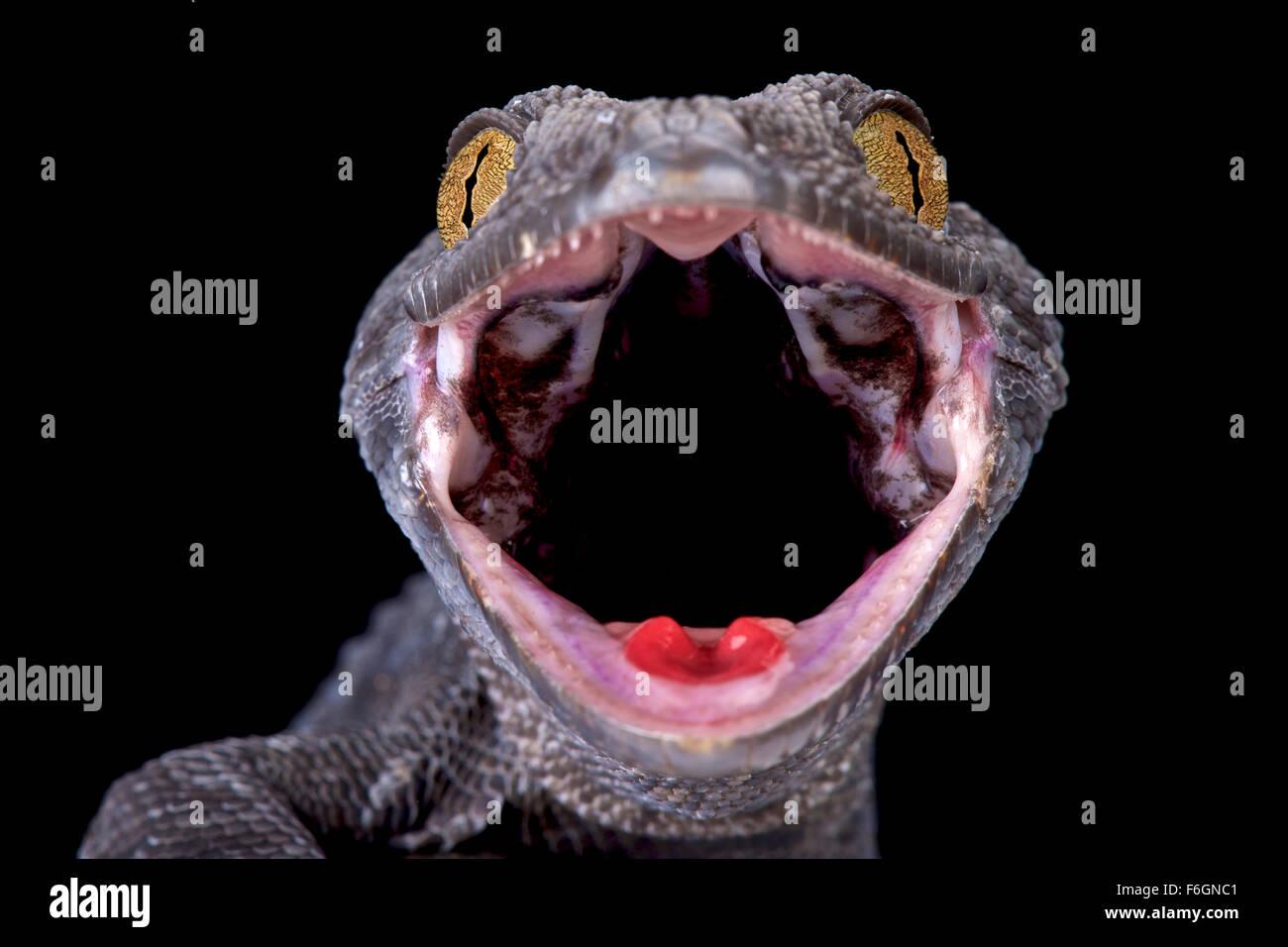 Tokeh (Gekko gecko) Immagini Stock