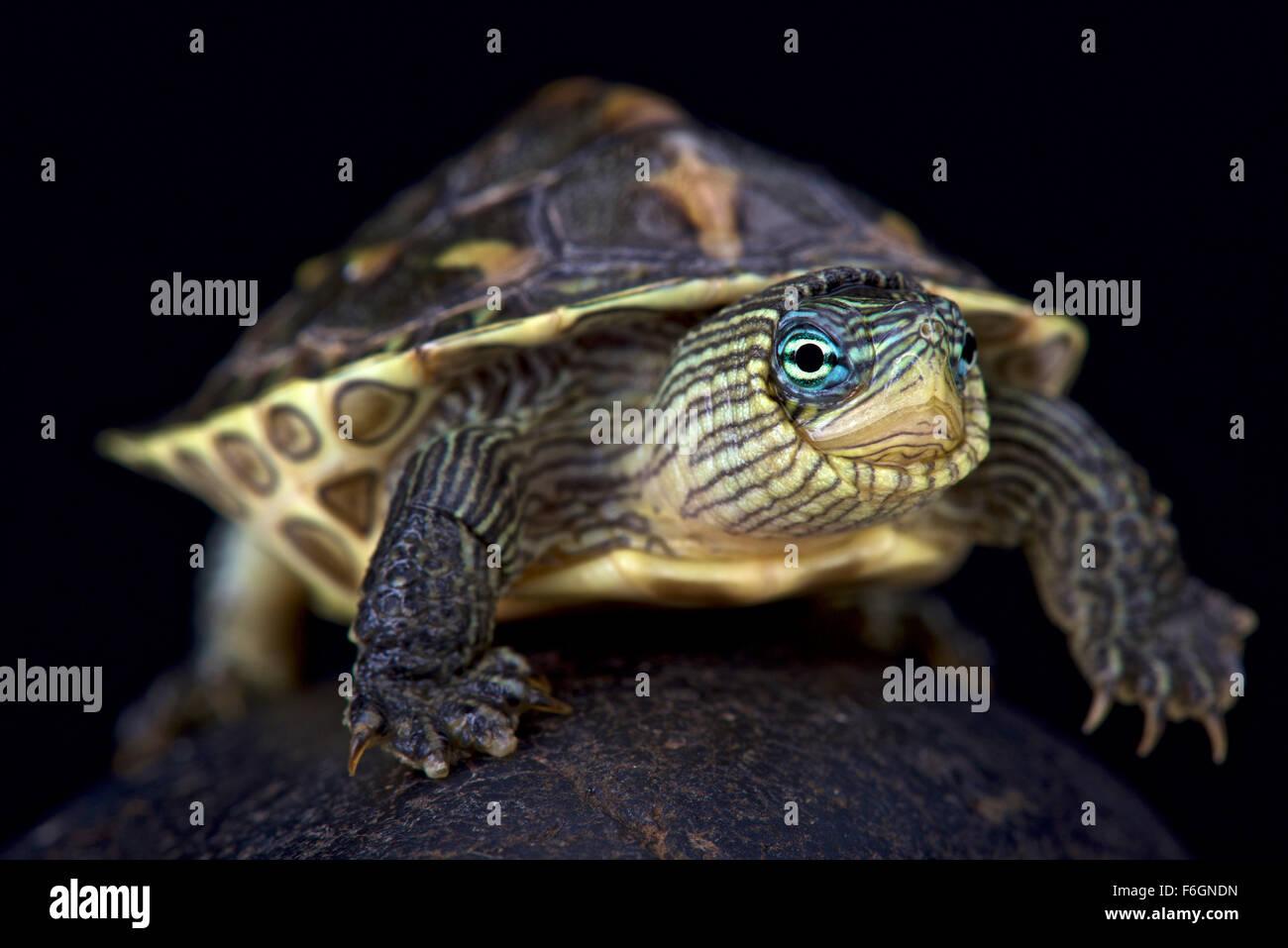 Stripe cinese colli (tartaruga Mauremys sinensis) Immagini Stock
