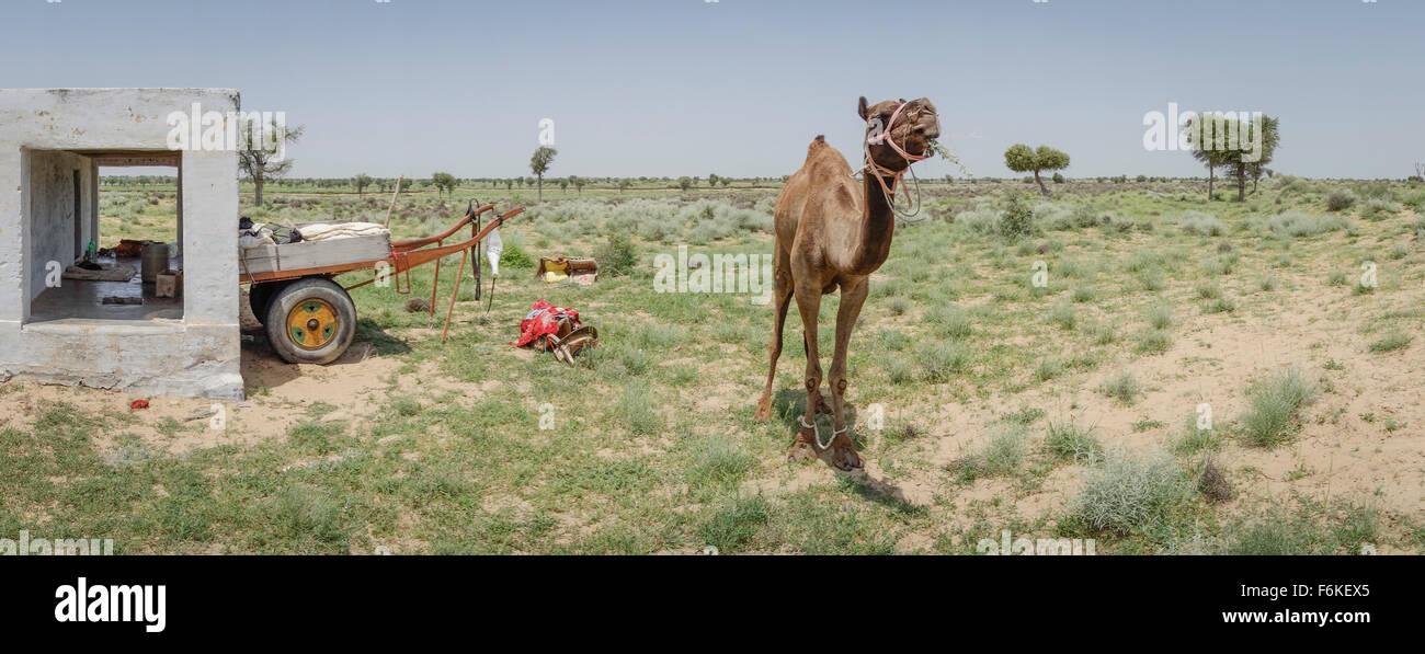 Un cammello di lavoro lambisce nella parte anteriore di un rifugio rurale nel deserto di Thar Rajasthan (India). Immagini Stock