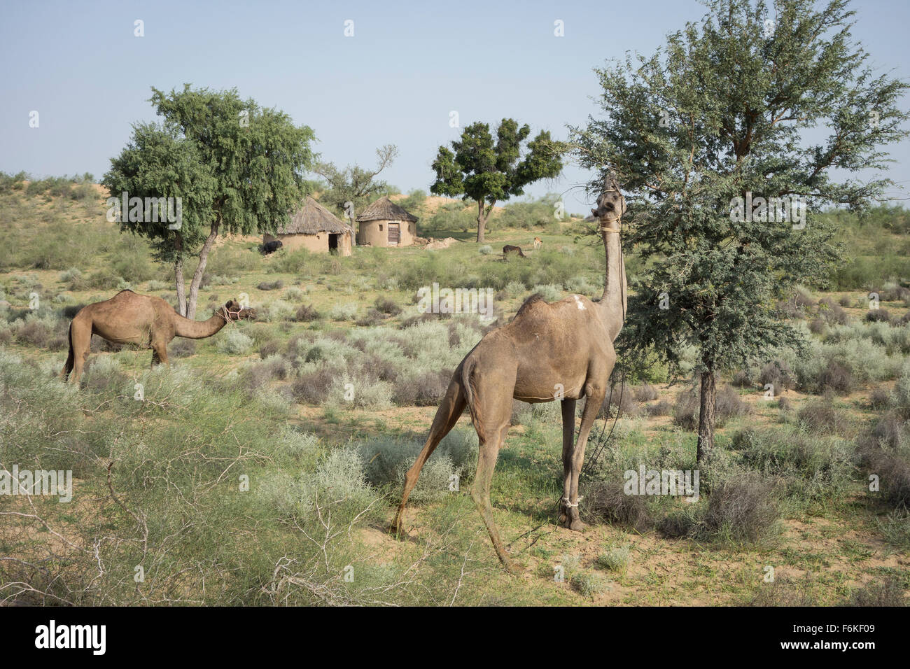 Cammelli che pascolano nella parte anteriore di una capanna nel deserto di Thar Rajasthan (India). Immagini Stock