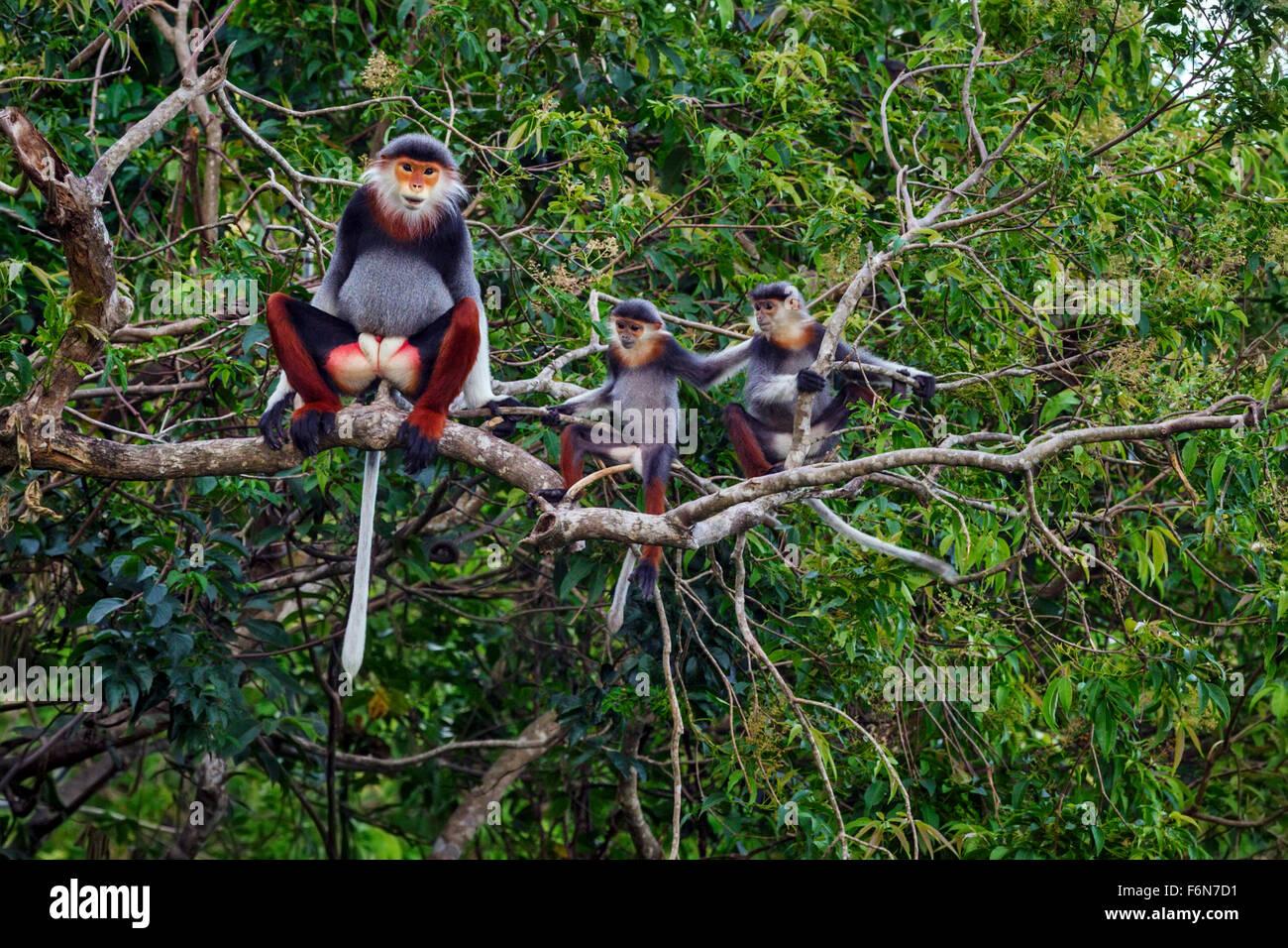 Maschio adulto rosso-shanked douc baby nella tettoia al figlio tra la riserva naturale in Vietnam Immagini Stock