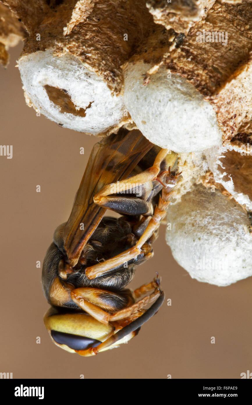 Unione hornet (Vespa crabro) emergente dalla cella di covata nel nido di carta Immagini Stock