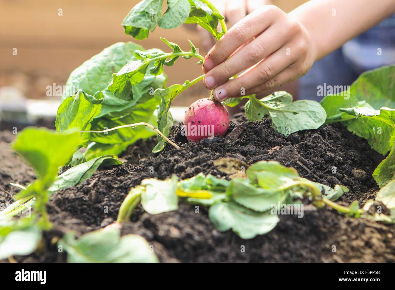 Ragazzo caucasico picking ravanello in giardino Foto Stock