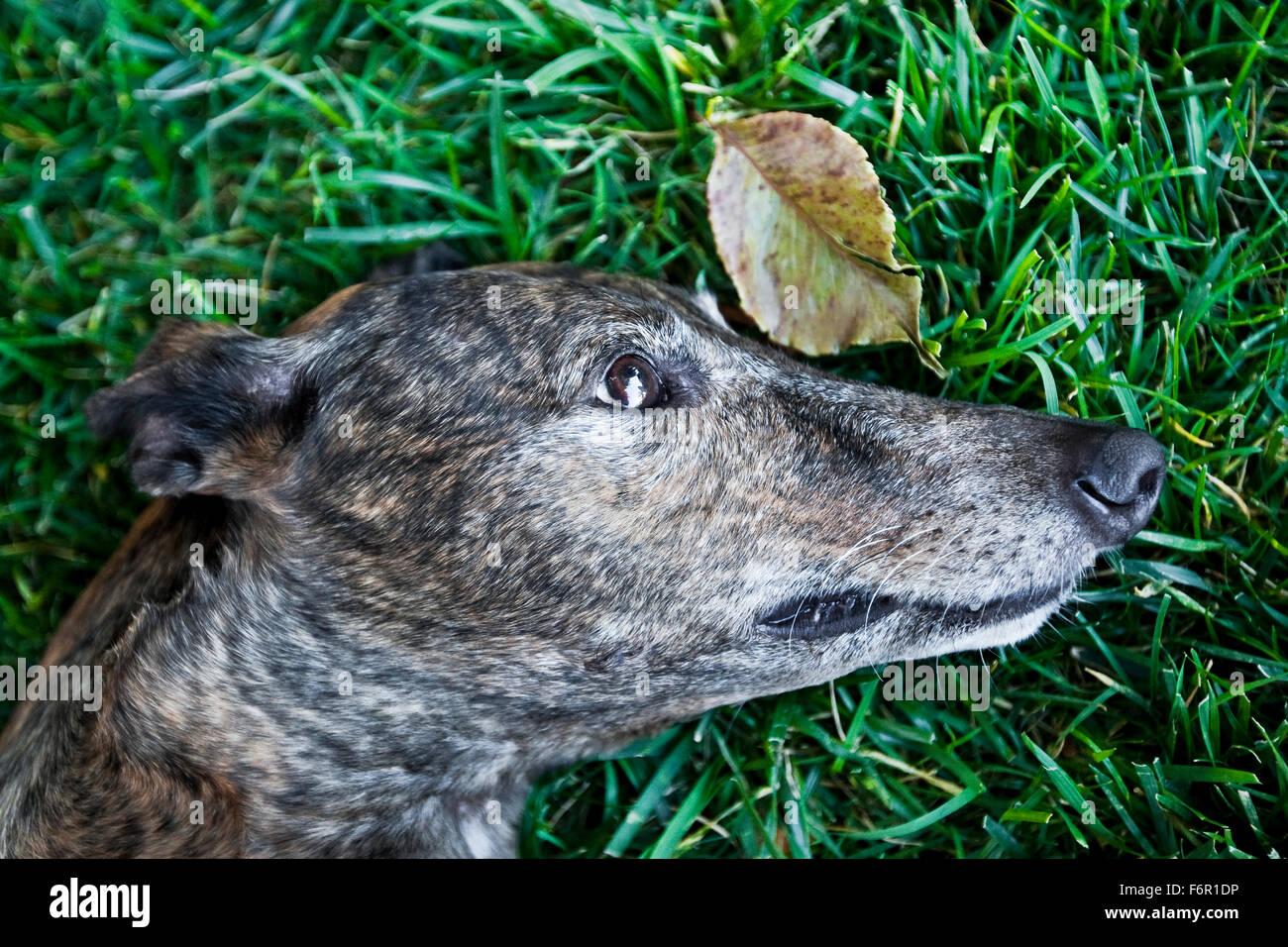 Close up profilo testa di brindle cane Greyhound recante pacificamente nella ricca lungo verde erba con un battente Immagini Stock