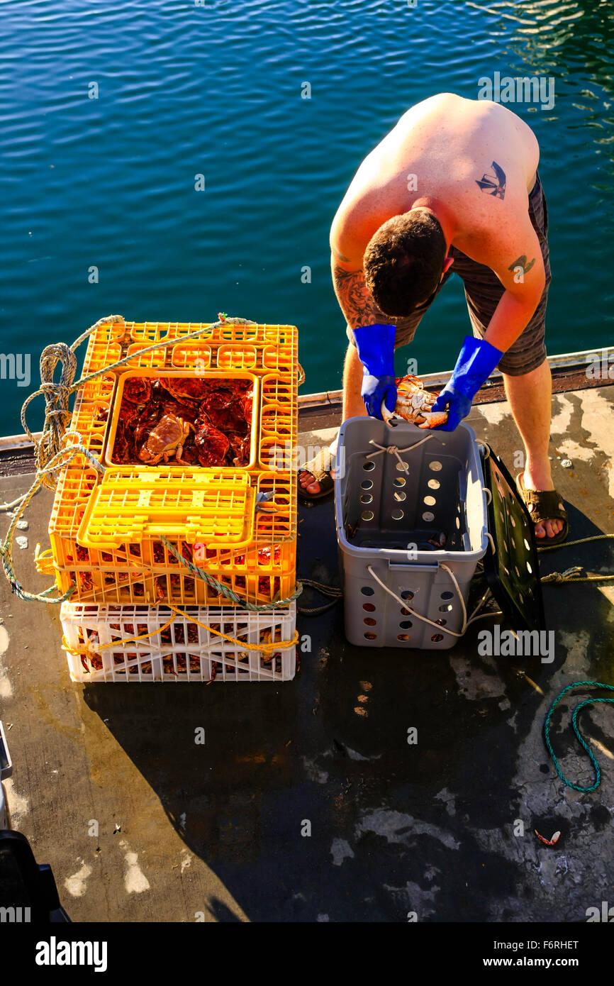 Pescatore a Santa Barbara porto ordina attraverso vasi di granchio ricerca per qualsiasi granchio morto prima di Immagini Stock