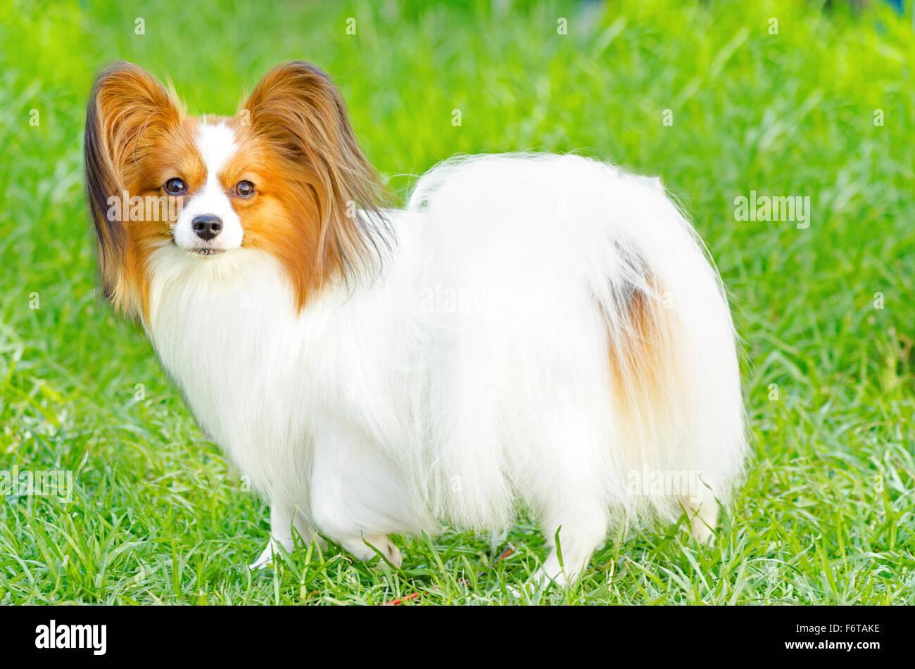 Un piccolo di colore bianco e rosso cane papillon (aka Continental toy  spaniel) in piedi sull'erba guardando molto cordiale e bella Foto stock -  Alamy