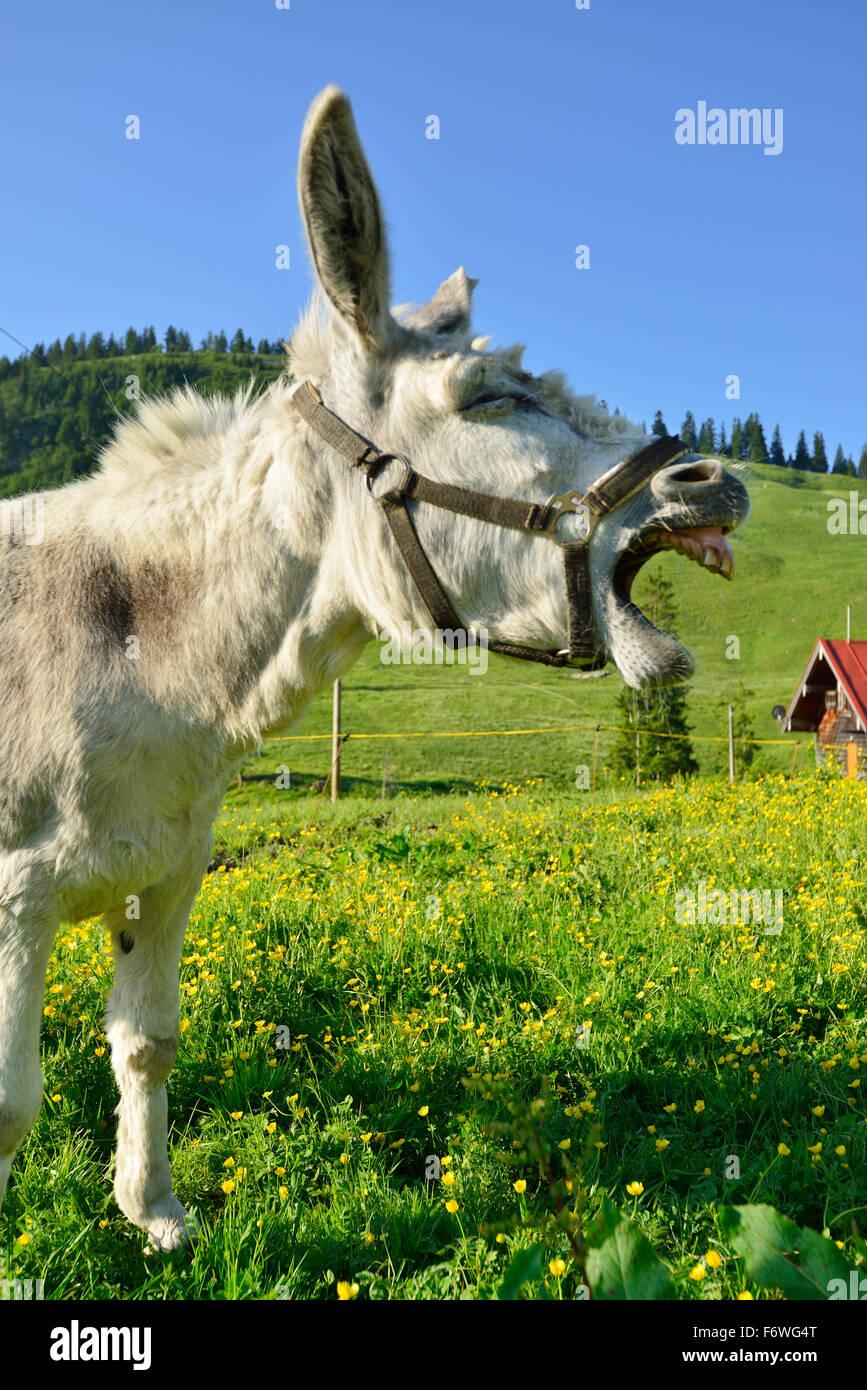 Asino in piedi in un prato fiorito e raglio, Spitzing, Alpi Bavaresi, Alta Baviera, Baviera, Germania Immagini Stock