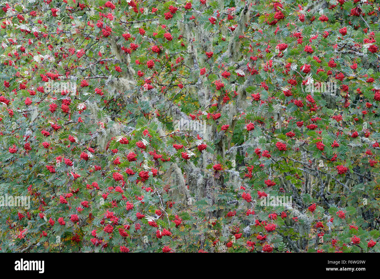 Albero Con Bacche Rosse unione rowan (sorbus aucuparia ) albero con bacche rosse in