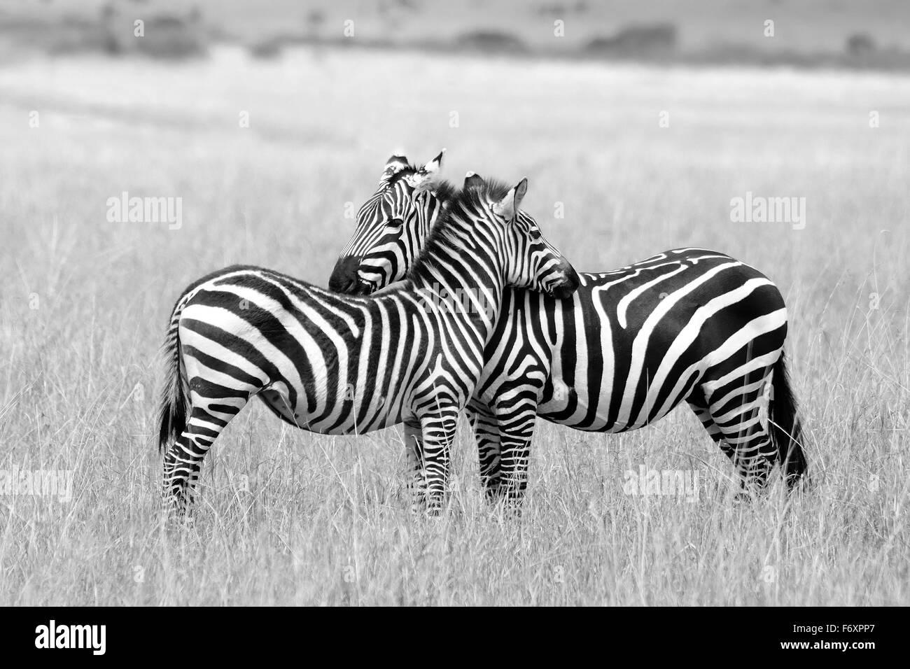 Due zebre, madre e il suo cucciolo vicino nella savana del Masai Mara riserva Immagini Stock