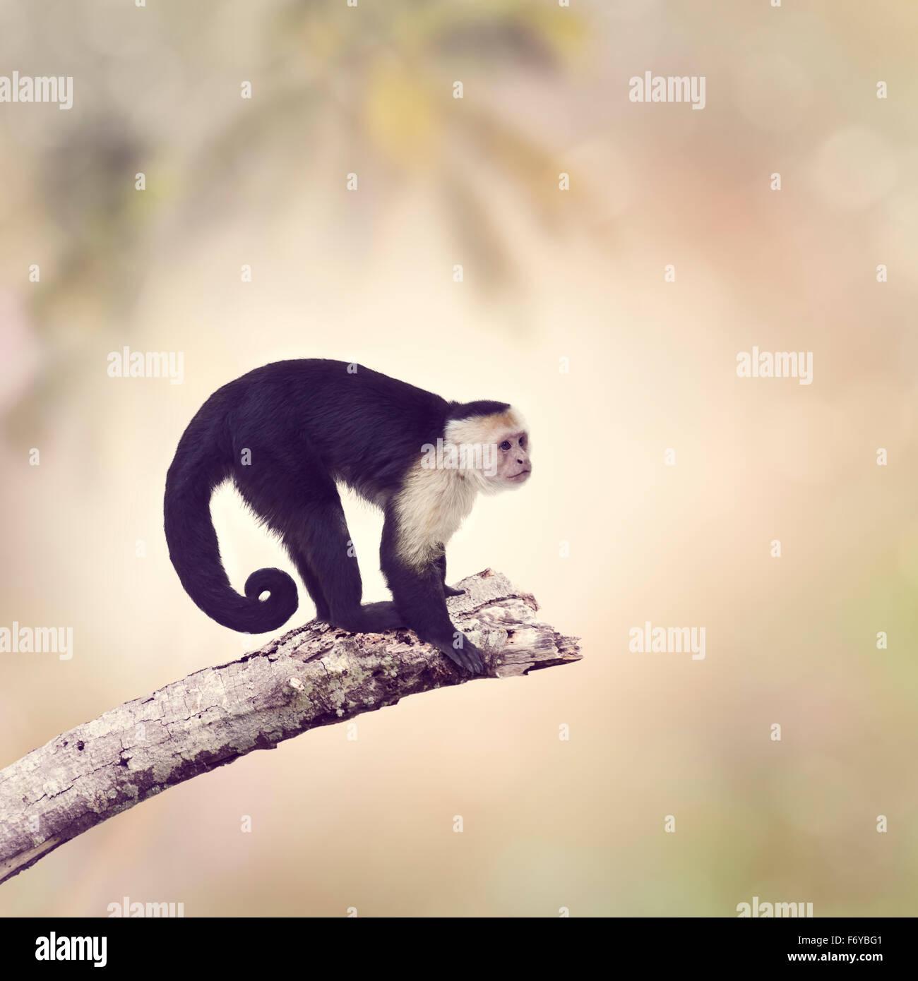 White Throated scimmia cappuccino su un ramo Immagini Stock