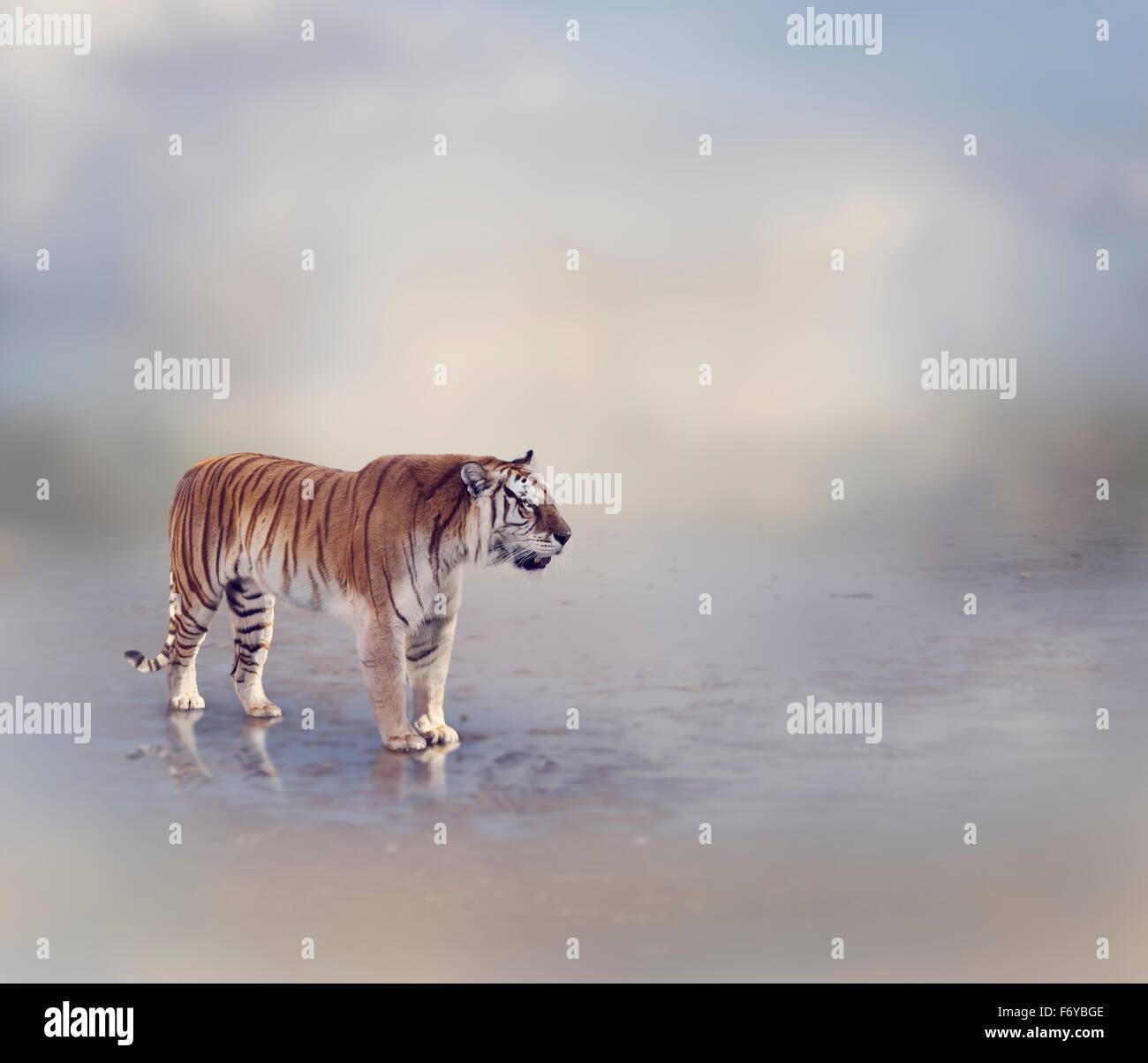 Tiger in prossimità di acqua con la riflessione Immagini Stock